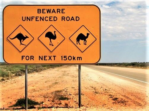 driving in australia tips beware of wandering animals on unfenced roads